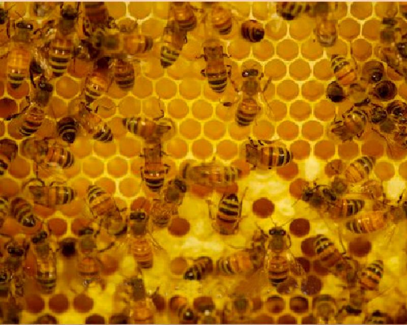 Honey Bees Pest Control