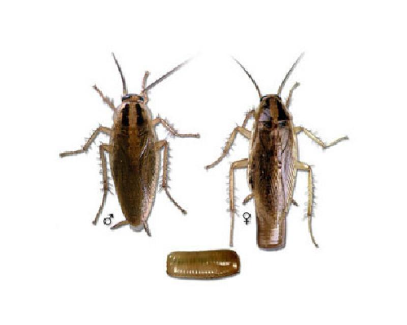 Indoor Cockroaches Pest Control