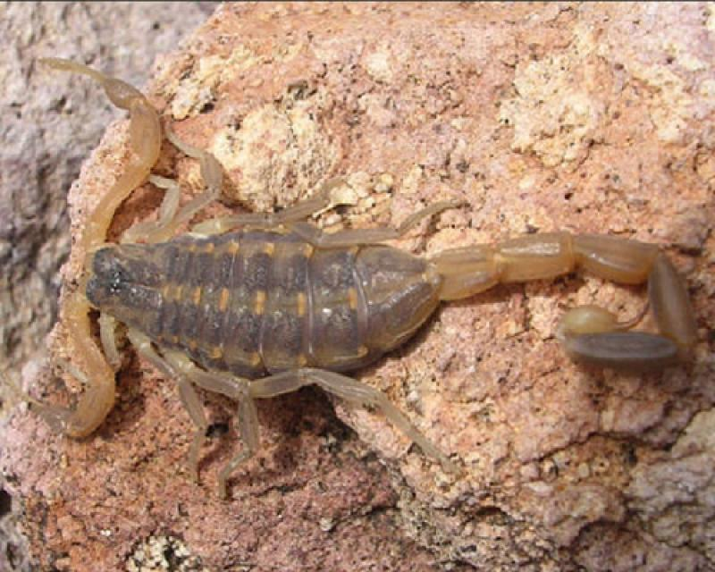 Bark Scorpion Pest Control