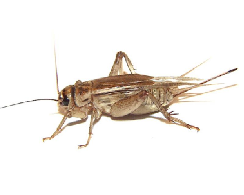 House Cricket Pest Treatment