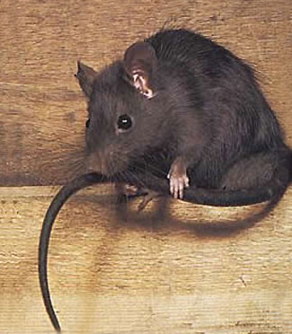 Roof Rat Pest Treatment